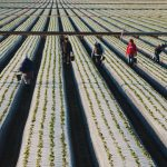 12-30 DHCA-Oceano-658-14-Farm-Workers,-Strawberry-Fields-Near-Oceano-and-Guadalupe
