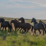 8-7-p DHWY-I80-586-16-Horses-on-the-Run,-Central-Wyoming
