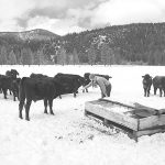14. DHCA-Gen23-103-18-Ranch-Manager-Connecting-With-Wagyu-Cows,-Winter,-Genesee-Valley-M2-BW