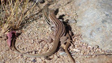 Algumas espécies de lagarto rabo-de-chicote só têm fêmeas. (Foto: Reprodução)