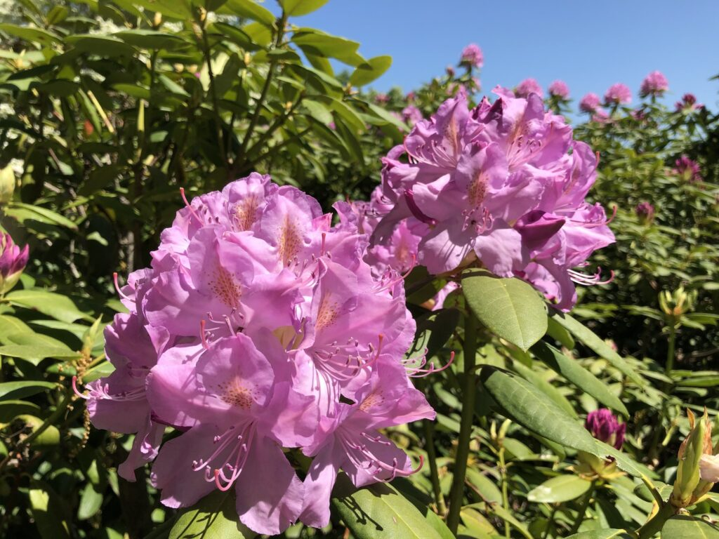Dark pink rhododendrons at Minute Man National Historical Park.