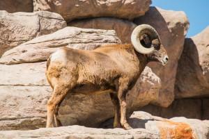 Bighorn Sheep Climbing on the Rocks. Montana Wildlife.