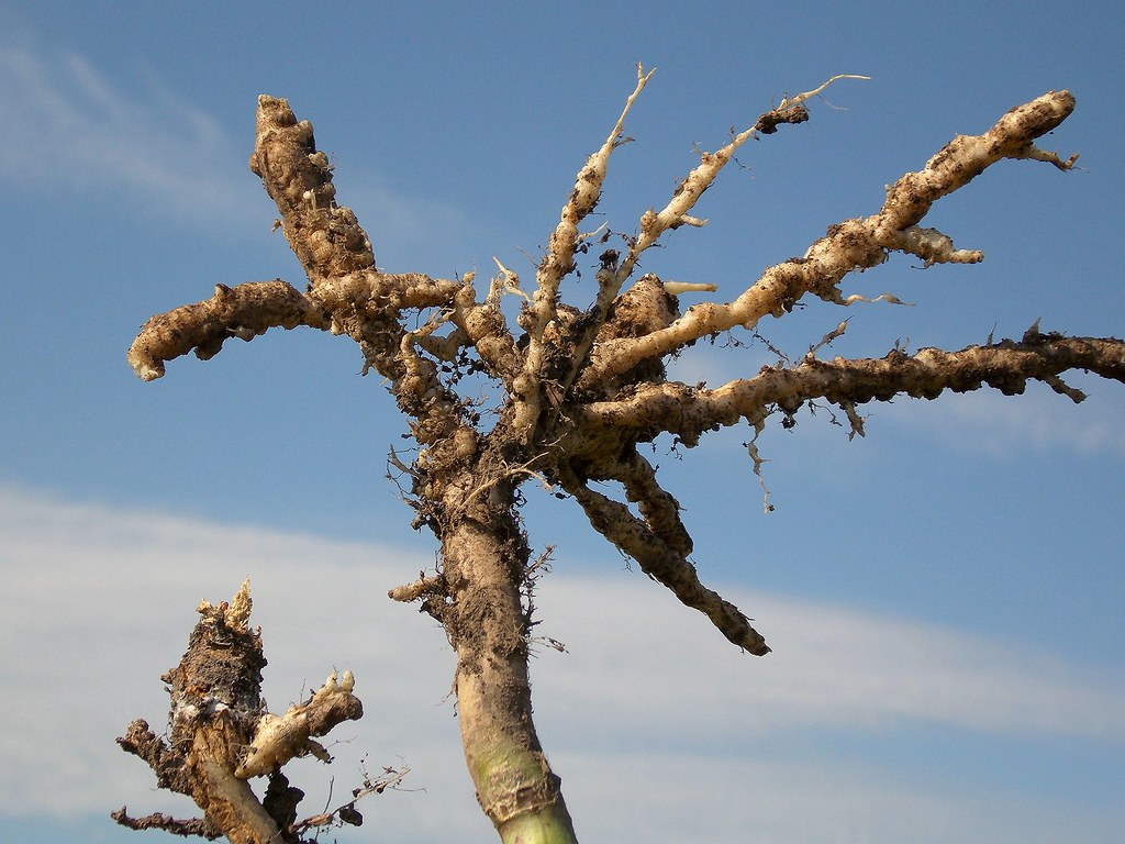 clubroot service