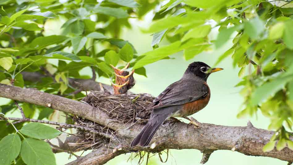 Pray America Great Again Baby Birds And Mother Bird