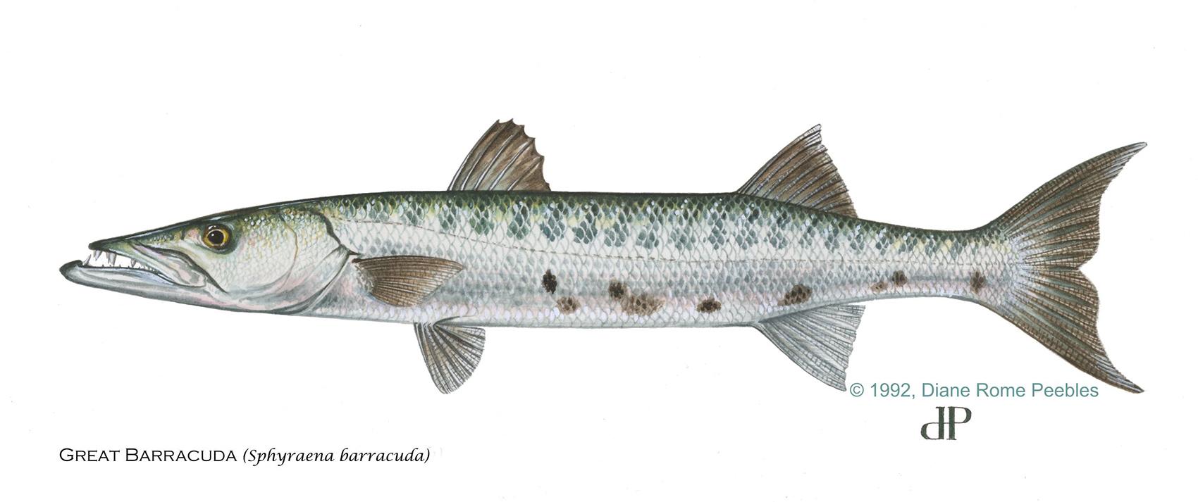 greatbarracuda