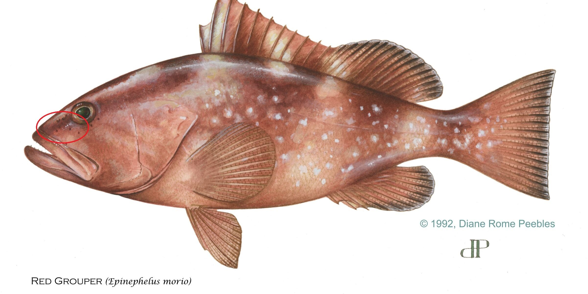 red-grouper-circle
