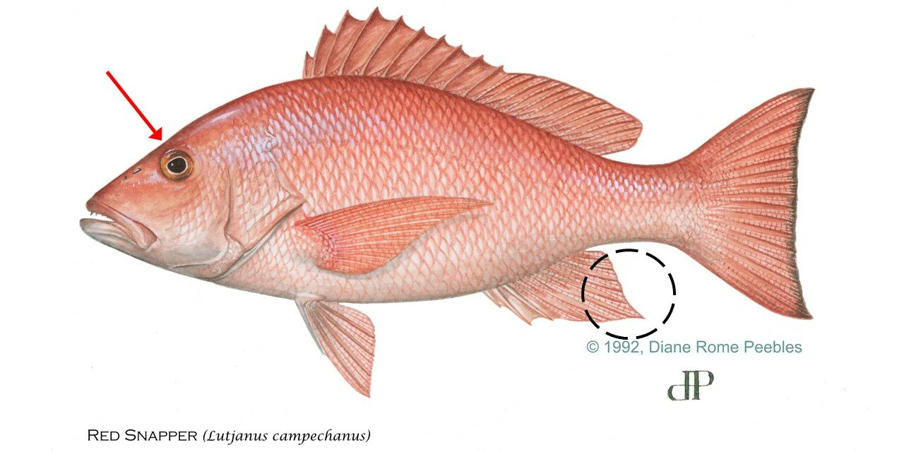 red-snapper-circle
