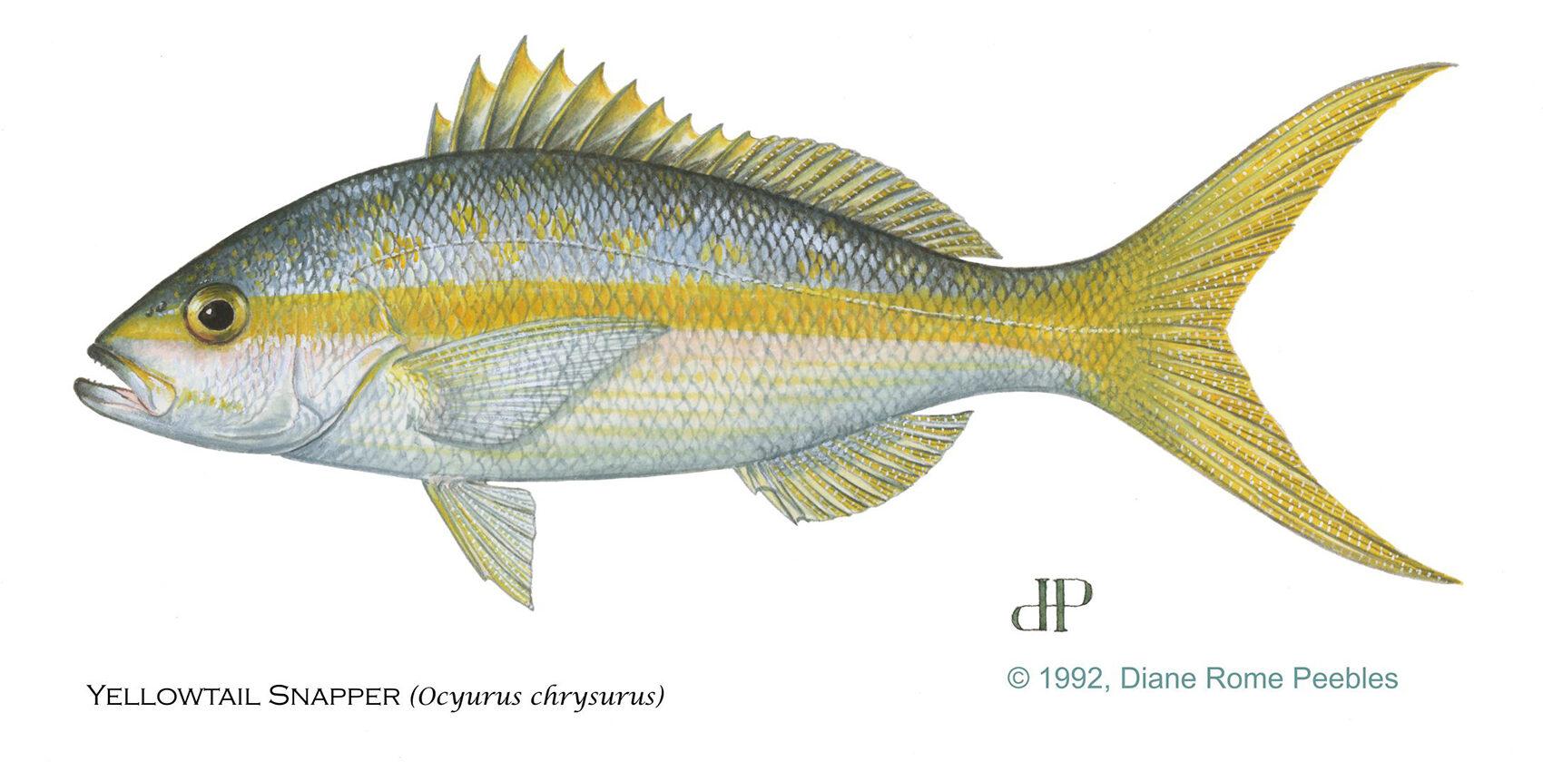 yellowtailsnapper