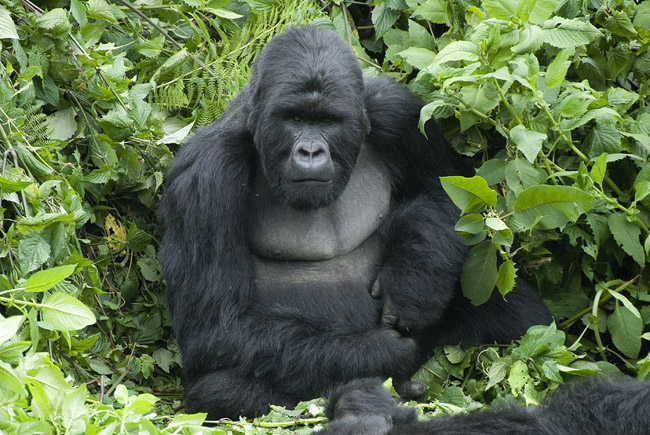 Gorilla photo #1. 10-07-07