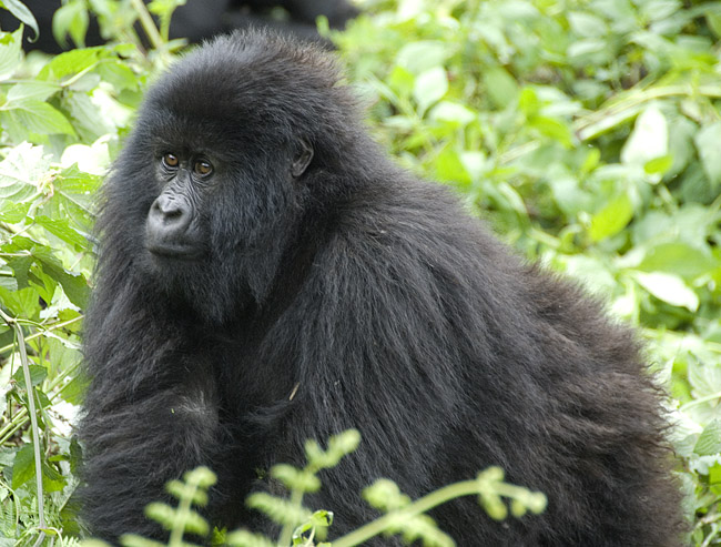 Gorilla photo #2. 10-07-07