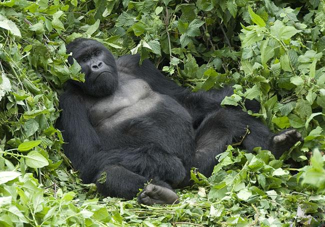 Gorilla photo #3. 10-07-07