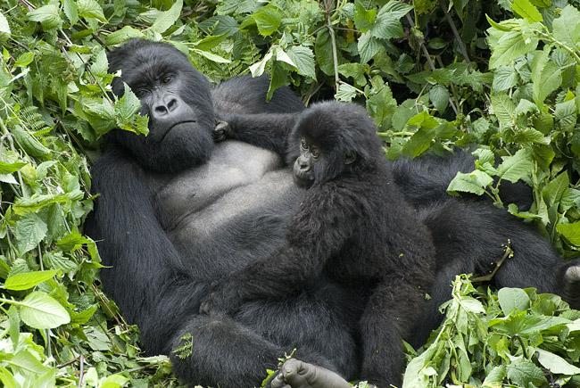 Gorilla photo #4. 10-07-07