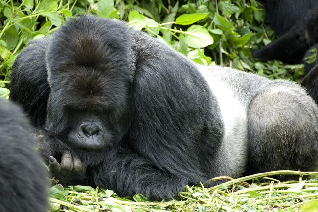 Gorilla photo #5. 10-07-07