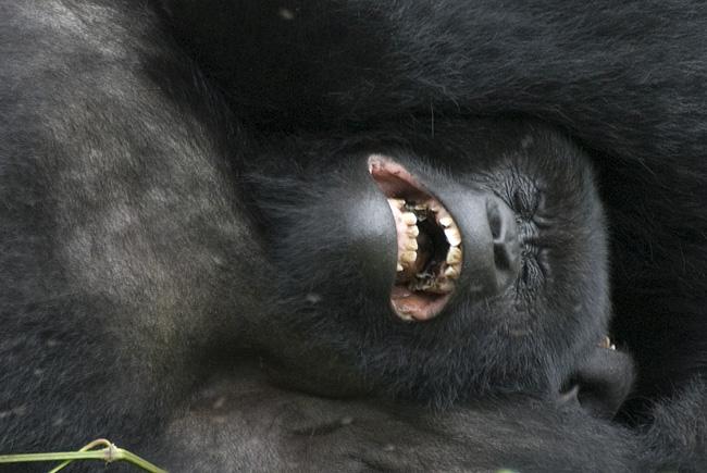 Gorilla photo #9. 10-07-07