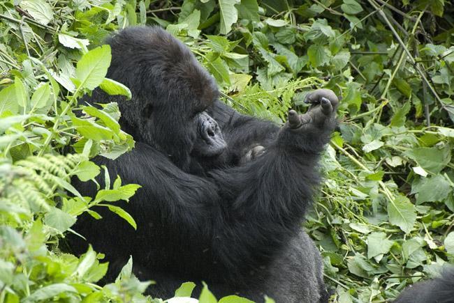 Gorilla photo #10. 10-07-07