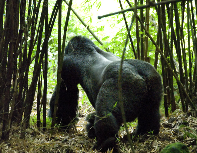 Gorilla photo #11. 10-07-07