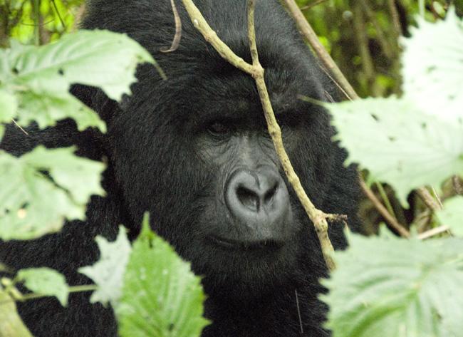 Gorilla photo #12. 10-07-07