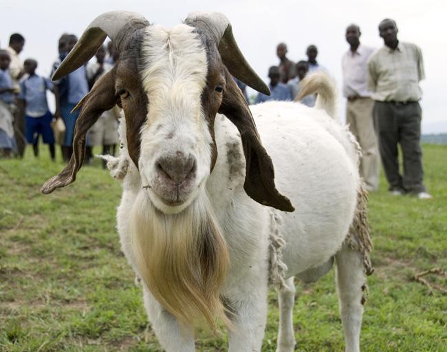 Billy Goat. 10-02-07