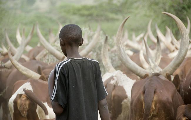 Ankole cattle - 03. 10-02-07