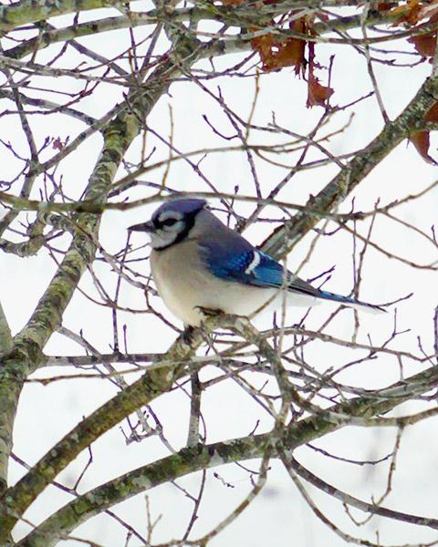 blue_bird1