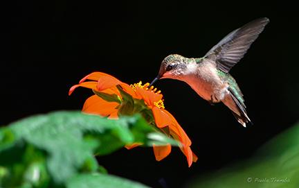 Humminbird II