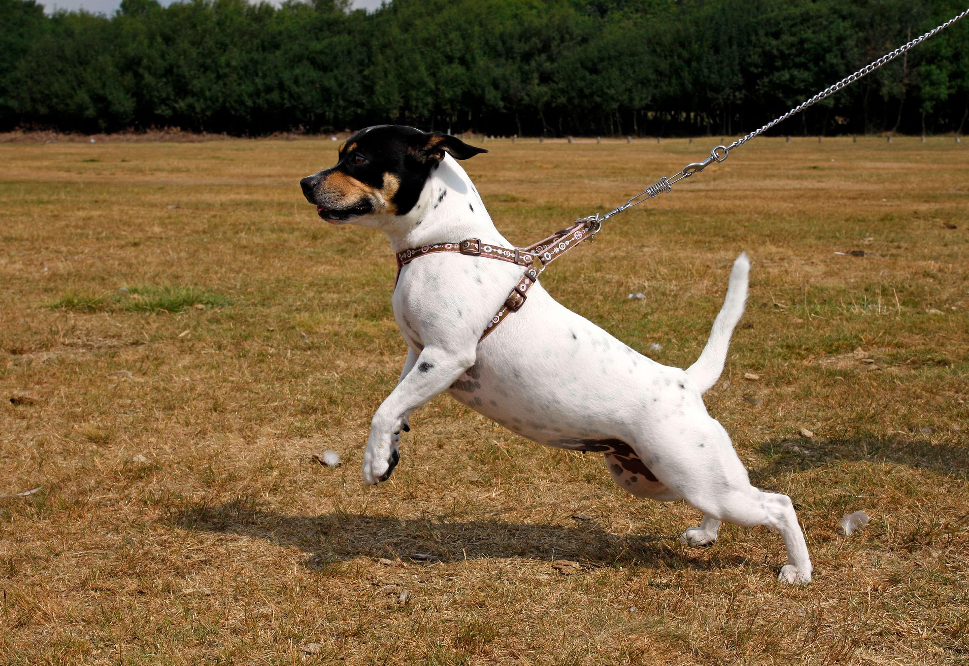 Puppy Class Extras – Leash Walking 101