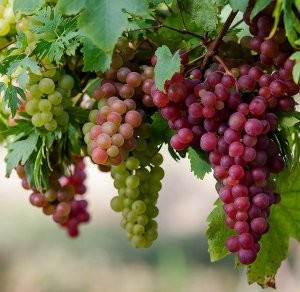 red & white grapes
