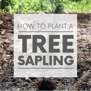 There's nothing like planting a sapling. They're so tiny, it's almost unimaginable one day they'll be towering trees. But with proper care - they will!