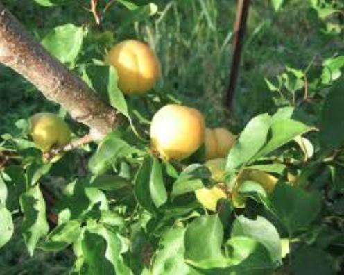 la-creme-apricots2
