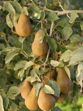 pears-perrys