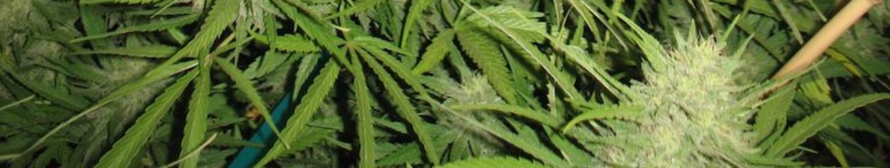 Localities can ban personal medical marijuana gardens