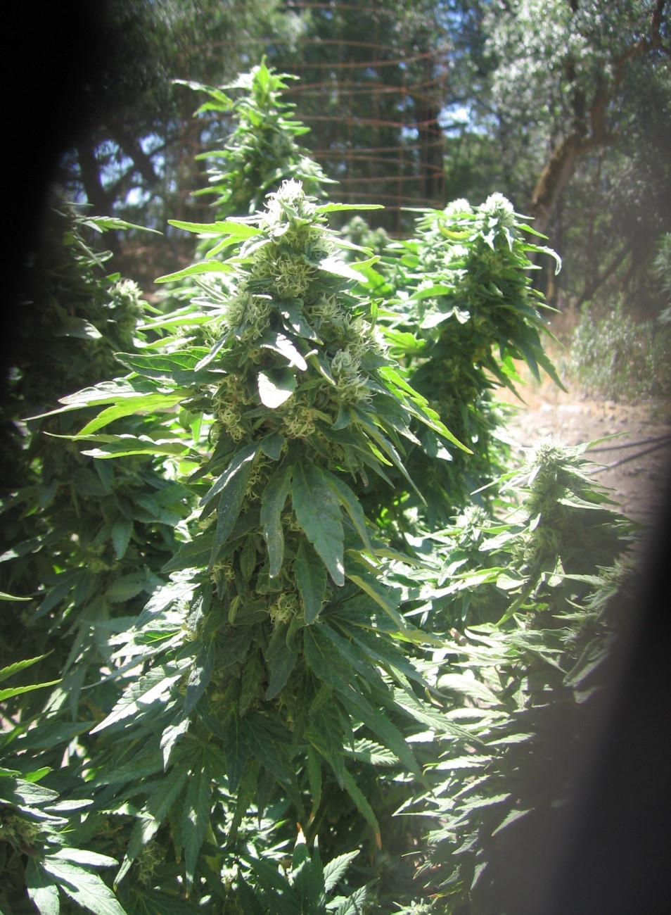 California marijuana laws HS 11357 to 11362.5, 11479