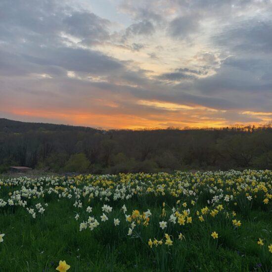 daffodils sunset