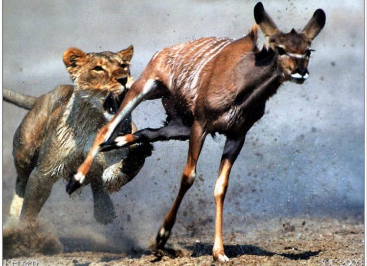 Lion and Gazelle