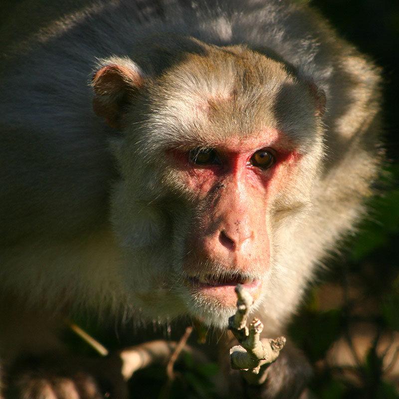 rhesus_macaque2