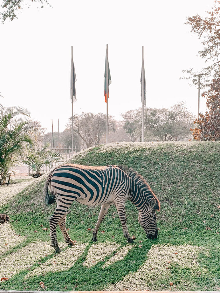 Zebra at our Hotel