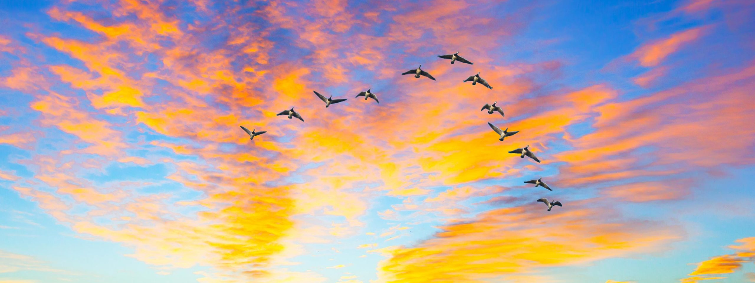 geese flying in formation at sunset