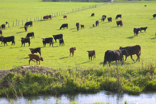Green Pastures and Live Springs Make Happy Cows