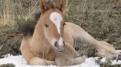The Cloud Foundation – New Foals In Cloud's Herd