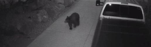 Bear Caught on Camera