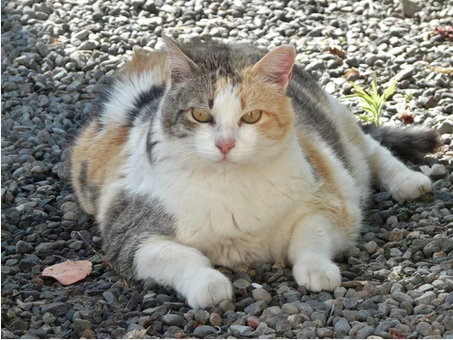 Is Your Pet Obese? Health Risks of Your Pet Being Overweight