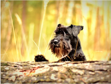 Lyme Disease: Symptoms to Look for in Dogs