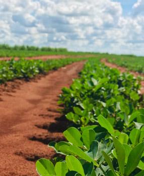 Plantação Amendoim