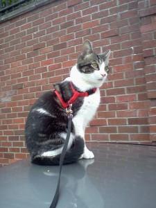 cat sitting Peko in Kirkland.
