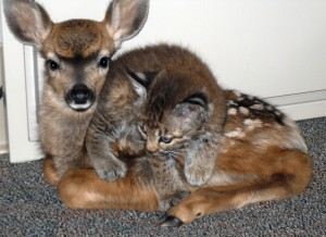 Fawn and Bobcat 2