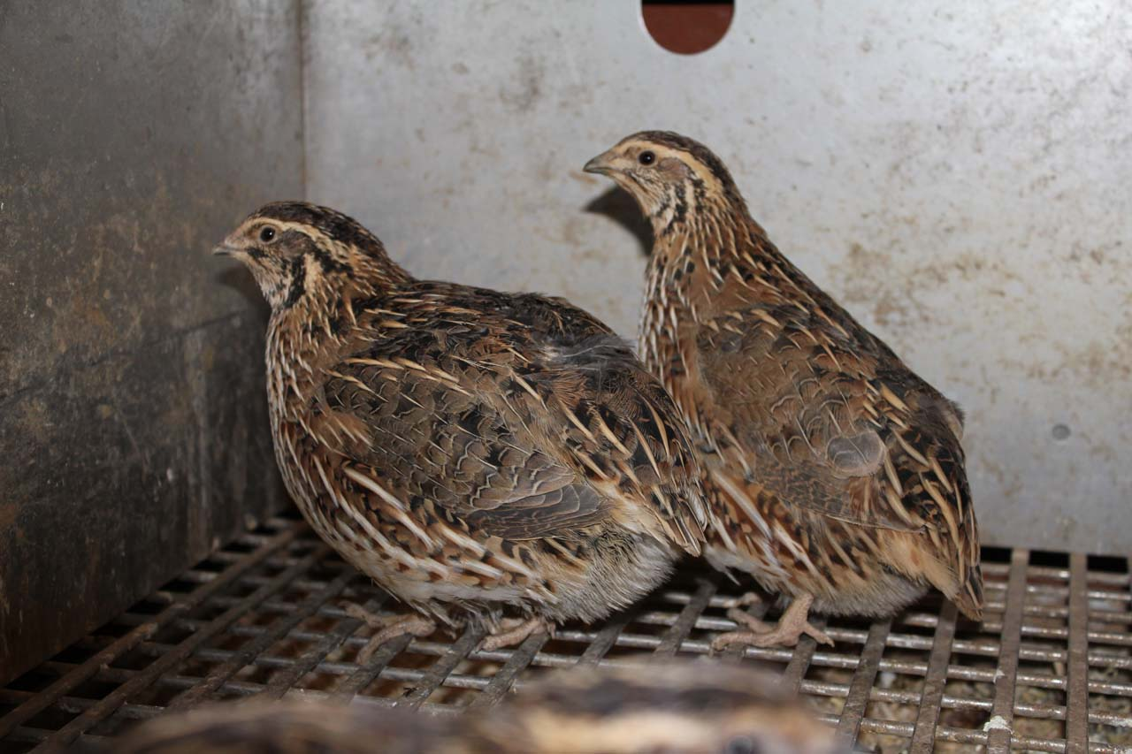 japanese_quail