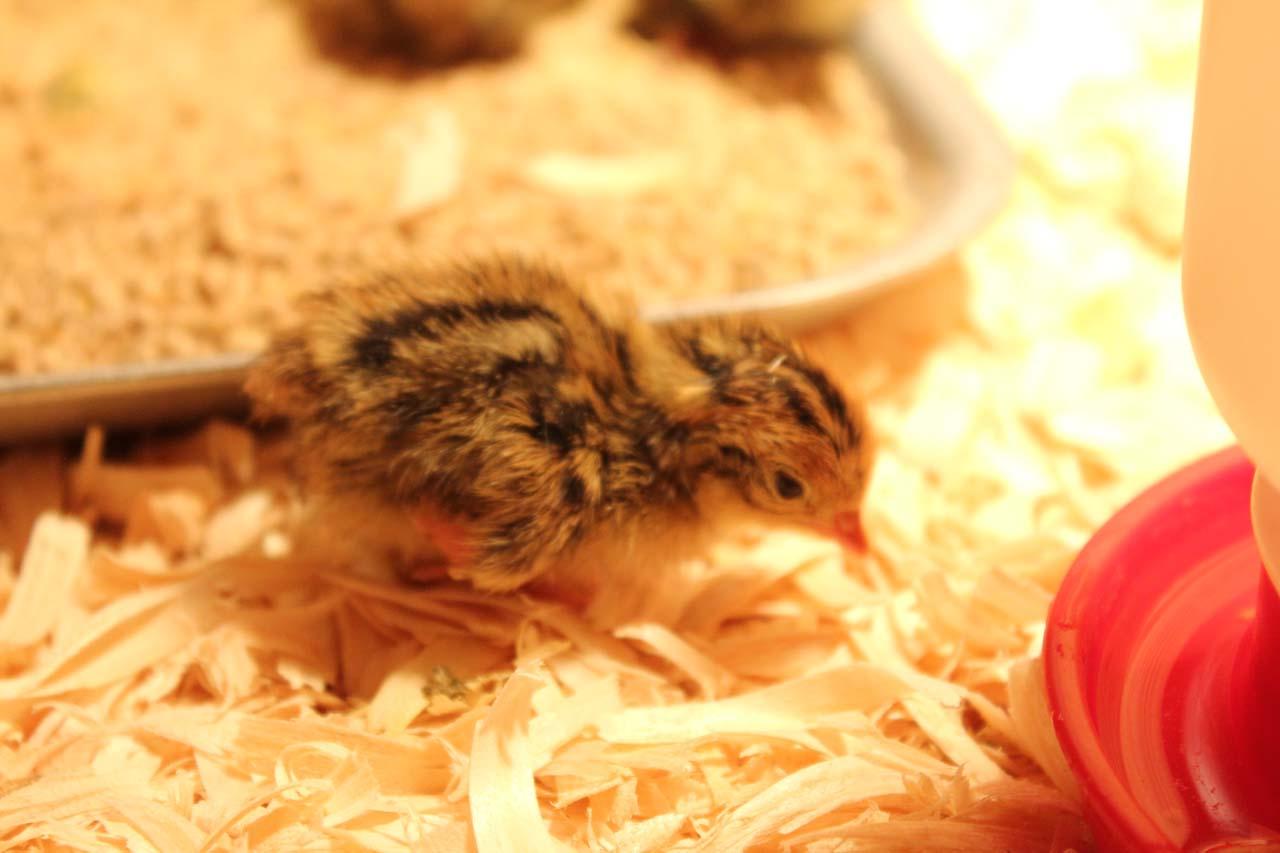 Japanese Quail or Jumbo Brown Coturnix Quail Chick
