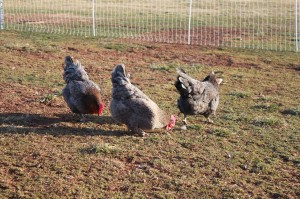 French Blue Copper Marans