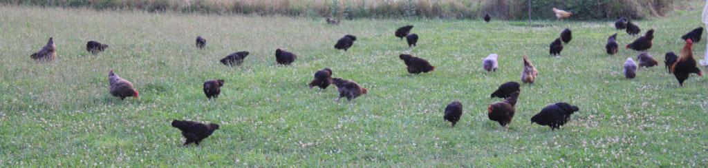 Loudounberry_Farm_Pasture_Black_Copper_Marans