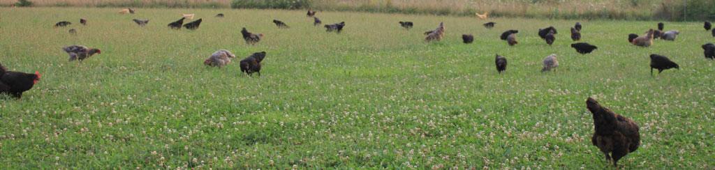 Loudounberry_Farm_Pasture_Marans